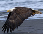Eagle flying over shore