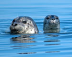 Two seals swimming