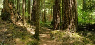 path between tall trees