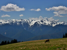 Hurricane ridge with deer on grass and sow-capped mountains in distance