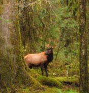 Elk peeking out from behind tree
