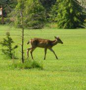 deer running across meadow