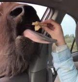 person feeding buffalo from inside car window