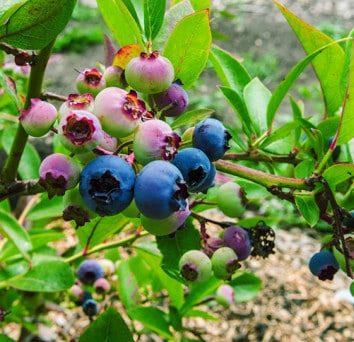 Blueberries on vine